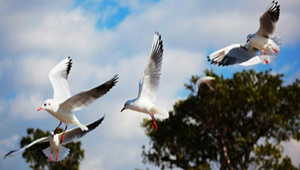 越冬红嘴鸥第一阶段环志及疫源疫病监测拉开序幕