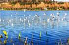 拍客| 碧水鸥飞 洛龙湖畔春之曲