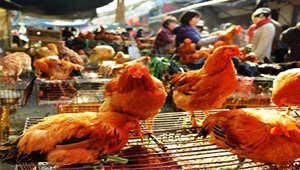 昆明主城区拟禁止活禽交易