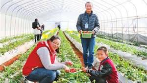 坚持绿色发展理念!牟定生态草莓走俏