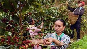 宁洱:咖啡种植产业带动山区农民脱贫增收