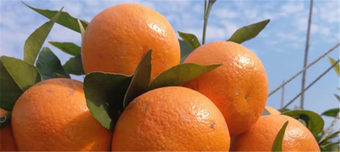 玉溪新平山区农民种柑橘走上致富路