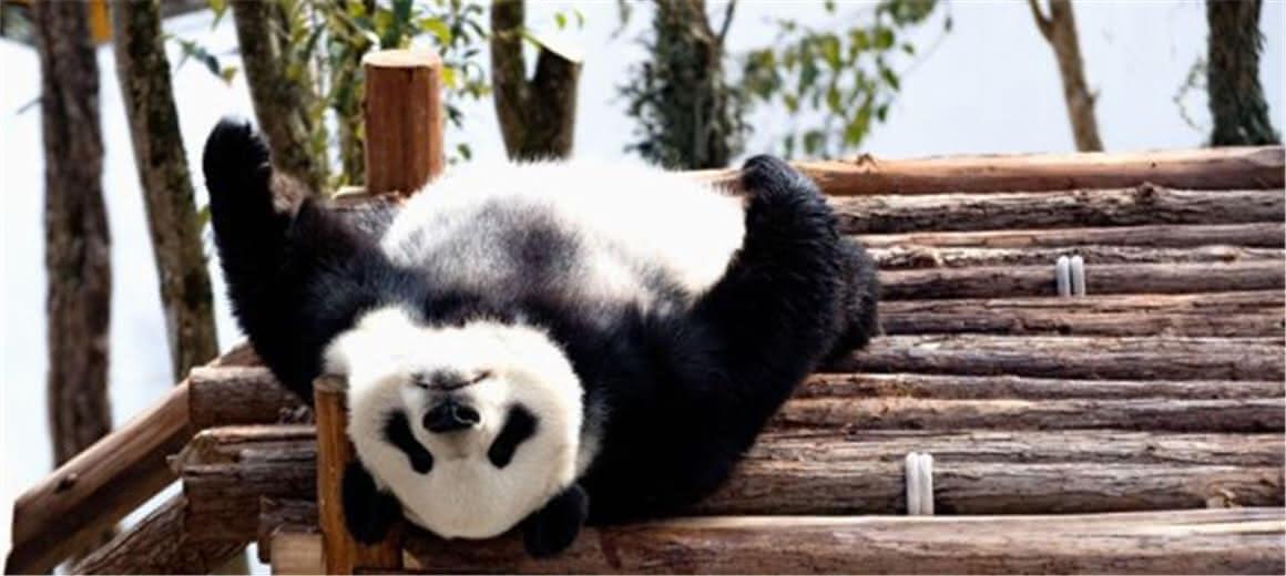熊猫的生活每天都像过年
