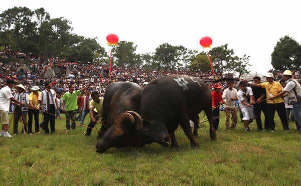 图文直播|火把节之猛牛战记