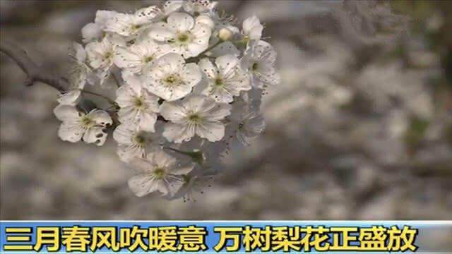 美得惊心动魄!央视两次直播昆明呈贡万溪冲梨花