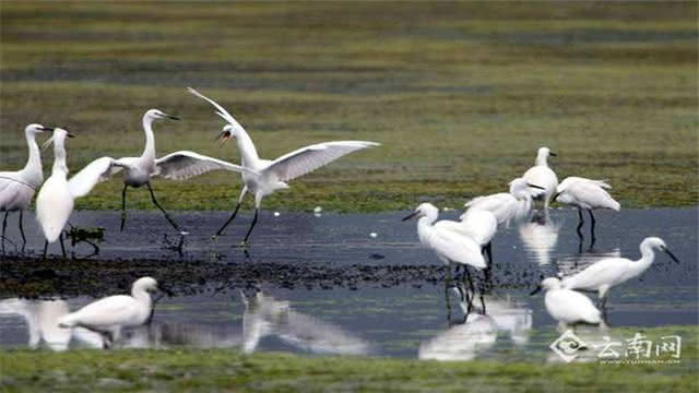 昆明滇池:又见珍稀鸟类来