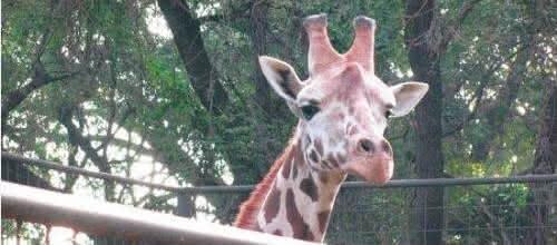 """【小掌直播】昆明动物园长颈鹿""""海荣""""不治身亡!只因戏耍蹭痒头卡树杈"""
