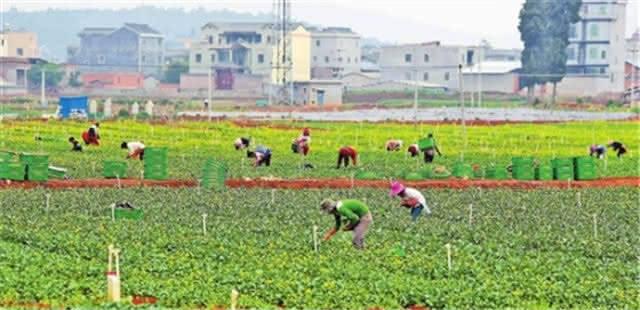 泸西:建立蔬菜基地 提高种植水平