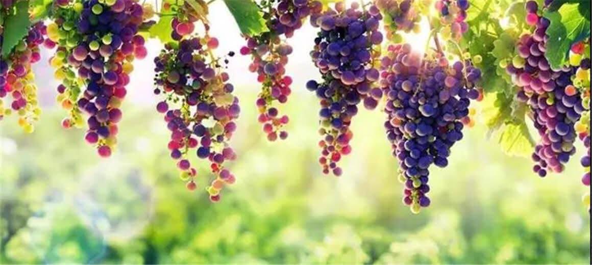 熟了熟了!禄丰近百亩葡萄缀满枝头