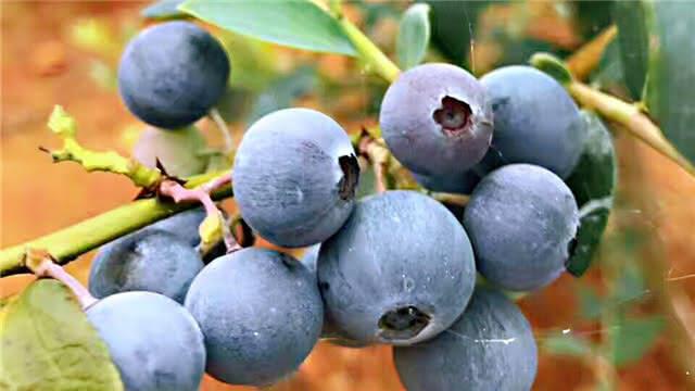 安宁500亩蓝莓熟了!周末走起