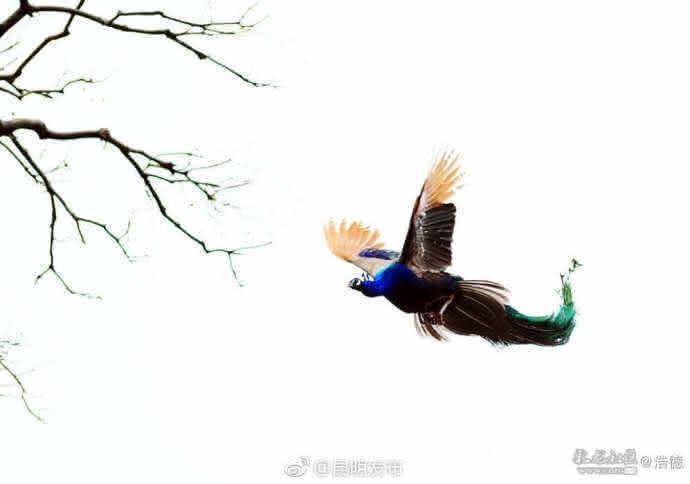 可是,你真的见过孔雀飞吗?
