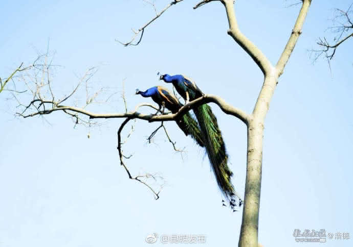 """或许大家都曾欣赏过孔雀开屏时的美丽,却很少有人看到过孔雀飞翔的""""舞姿""""。"""
