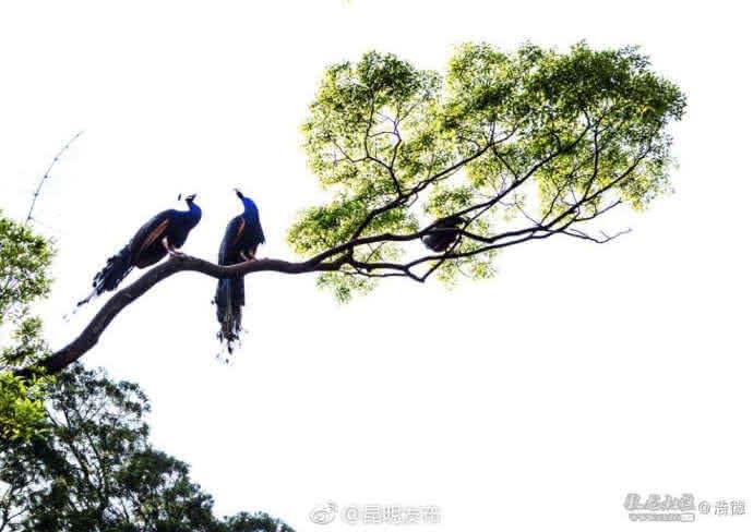 当它们一齐展开艳丽的羽毛,飞上高处的枝头,这场景确实令人惊艳!