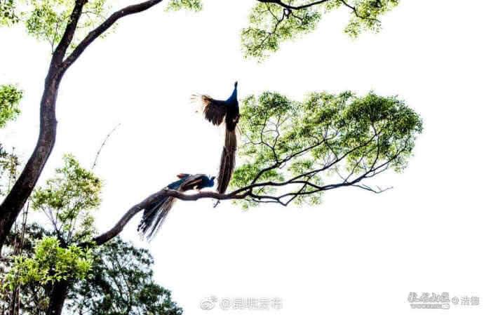 """快去圆通山看看这些美丽的孔雀吧,难说还能一睹它们飞翔的""""舞姿""""。"""
