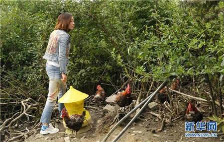 刘艳在山地养殖场查看放养的生态鸡。