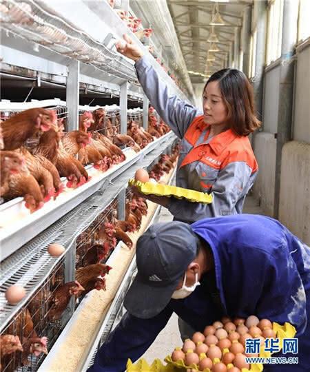 刘艳(后)和工人在养殖场捡鸡蛋。(来源:新华社记者:杨宗友 实习责编:靳玉娇 一审:周婷)