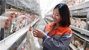 拍客|云南镇雄:农家女返乡带动乡亲养鸡脱贫