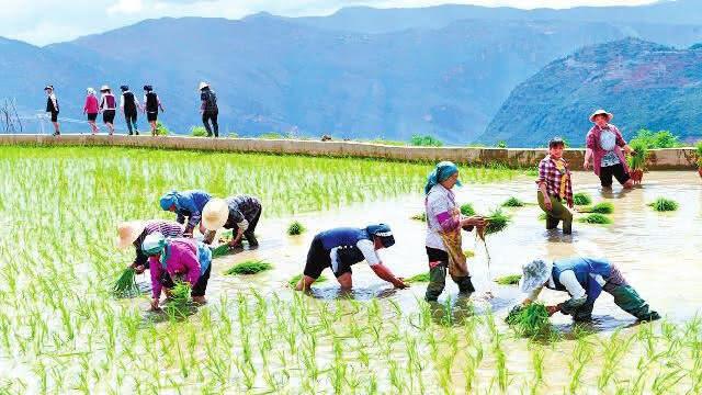 元江今年种植水稻6万余亩
