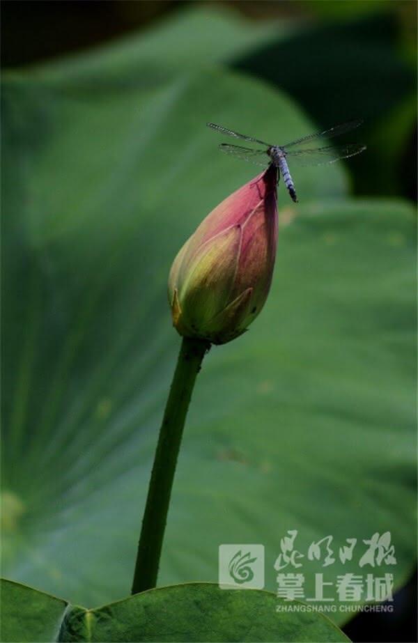 只有昆明大观楼公园的荷花上还偶尔有幸遇见蜻蜓荷花两相依的精彩瞬间。