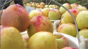 不用化肥的石林黄金大油桃上市啦  快来摘!