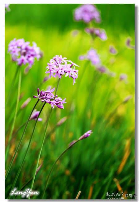 紫娇花的花语:铭记于心。 来源:彩龙社区 作者:@冷云 责编:符亚丽 一审:周晓雪