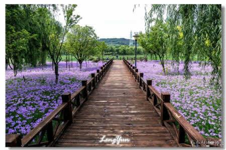 位于昆明呈贡高新区的渔浦寒泉湿地公园的紫娇花开了。
