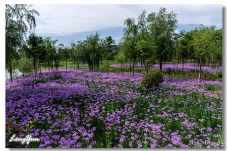 俯身靠近紫娇花,有一股淡淡的韭菜味,看它根叶,的确和韭菜有几分相似。