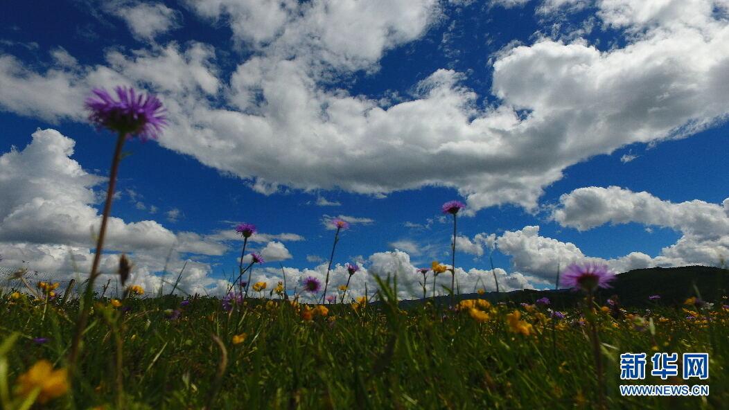 蓝天白云下,草场上的野花十分美丽。