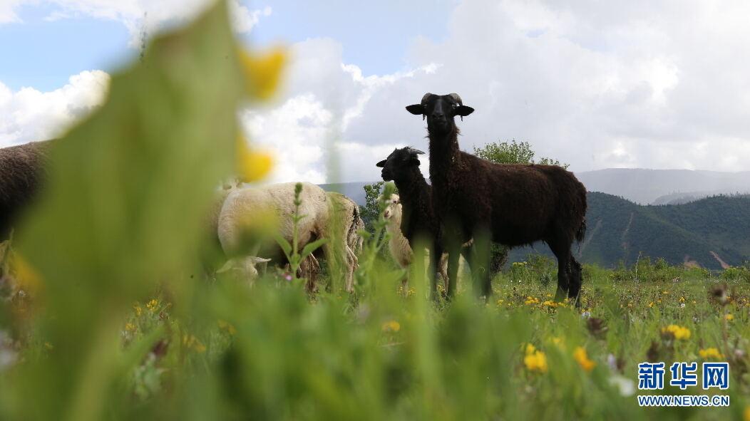羊群悠然信步觅食。