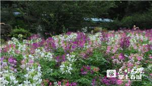 仲夏花园模式开启 黑龙潭公园20亩醉蝶花海迷人