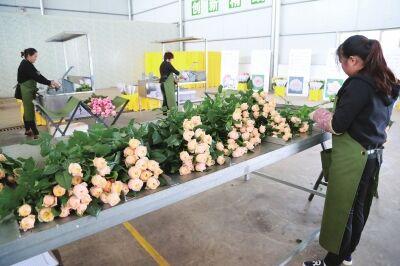 投资3亿元!弥勒规划建设10个现代玫瑰种植温室基地