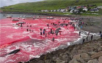 海水被染红!180头鲸鱼在法罗群岛遭屠杀…