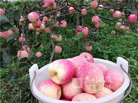 中秋又添好去处!富民胡涂山百亩生态苹果上市