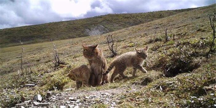 首次!三江源地区记录到荒漠猫抚育幼崽影像