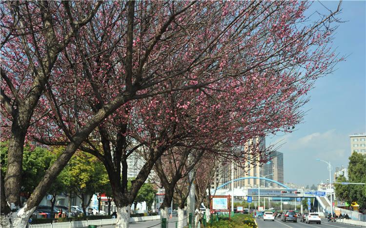 粉色梅花冬日绽放 春城花都名不虚传!