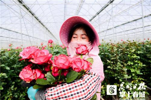 昆明50万枝顶级玫瑰上线聚划算,三天卖空!