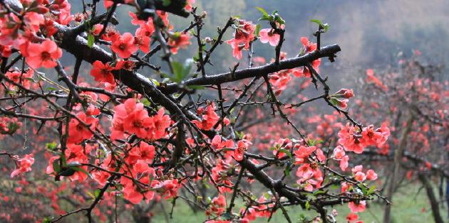 染红整个春天!红河石屏80亩贴梗海棠怒放