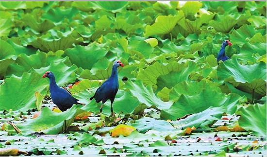 彩鹮现身!石屏异龙湖国家湿地公园成为珍稀鸟类乐园