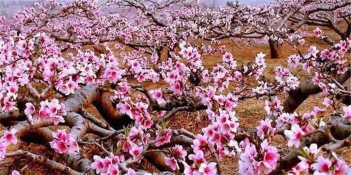 禄丰桃文化旅游节展魅力 万亩桃花开成海,灿若红云