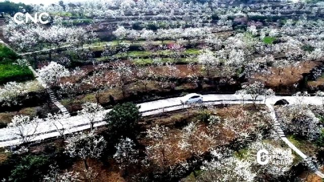 """阳春三月李花开 峡江两岸赏""""春雪"""""""
