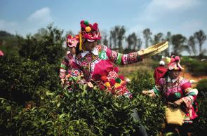 宜良宝洪茶文化旅游节开幕 快来体验采茶 观看彝族祭茶
