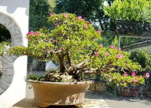 除了蓝花楹,等你打卡的还有黑龙潭杜鹃盆景!