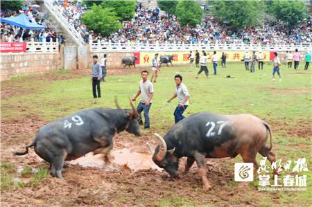 """研讨中国""""牛文化"""" 石林首届金牛节6月启动"""