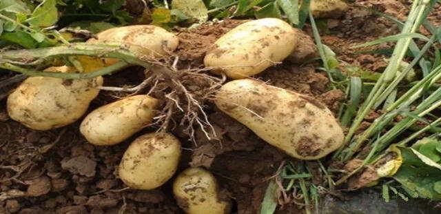 春吃花冬吃根 5种根菜最养生