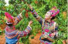 楚雄彝族村寨的樱桃熟了