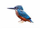 云南有10种翠鸟 你有偶遇过吗