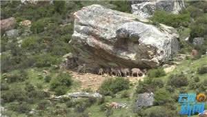 拍客|百只岩羊现身迪庆白马雪山保护区