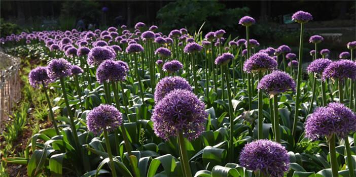 葱花朵朵开!本月17日 昆明植物园邀你开启葱香之旅