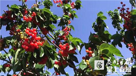 动新闻 阳宗海马郎樱桃旅游节开幕 5000亩樱桃等你摘
