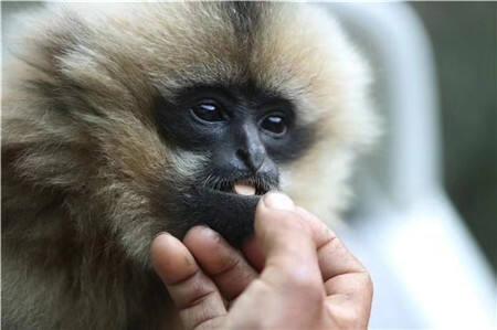 """已恢复健康回家!昆明动物园救治西黑冠长臂猿""""小平安"""""""